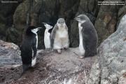 Pygoscelis antarcticus087.King George Is.South Shetland Islands.Antarctica.31.01.2019