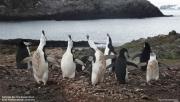 Pygoscelis antarcticus090.King George Is.South Shetland Islands.Antarctica.31.01.2019
