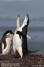Pygoscelis antarcticus091.King George Is.South Shetland Islands.Antarctica.24.01.2019