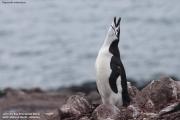 Pygoscelis antarcticus092.King George Is.South Shetland Islands.Antarctica.27.01.2019