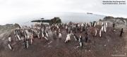 Pygoscelis antarcticus096.King George Is.South Shetland Islands.Antarctica.31.01.2019