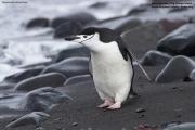 Pygoscelis_antarcticus005.King_George_Is.South_Shetland_Islands.Antarctica.28.01.2019