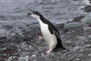 Pygoscelis_antarcticus006.King_George_Is.South_Shetland_Islands.Antarctica.17.01.2019