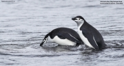 Pygoscelis_antarcticus009.King_George_Is.South_Shetland_Islands.Antarctica.28.01.2019