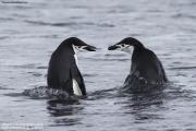 Pygoscelis_antarcticus010.King_George_Is.South_Shetland_Islands.Antarctica.28.01.2019