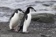 Pygoscelis_antarcticus012.King_George_Is.South_Shetland_Islands.Antarctica.17.01.2019