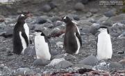 Pygoscelis_antarcticus014.King_George_Is.South_Shetland_Islands.Antarctica.28.01.2019