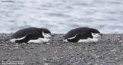 Pygoscelis_antarcticus015.King_George_Is.South_Shetland_Islands.Antarctica.19.01.2019