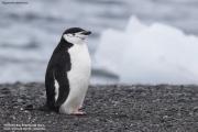 Pygoscelis_antarcticus016.King_George_Is.South_Shetland_Islands.Antarctica.19.01.2019
