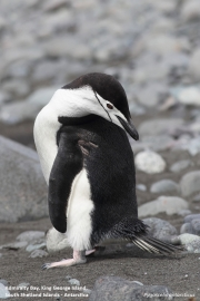 Pygoscelis_antarcticus017.King_George_Is.South_Shetland_Islands.Antarctica.17.01.2019