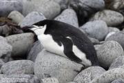 Pygoscelis_antarcticus022.King_George_Is.South_Shetland_Islands.Antarctica.27.01.2019