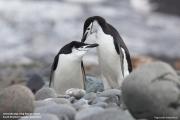 Pygoscelis_antarcticus026.King_George_Is.South_Shetland_Islands.Antarctica.27.01.2019