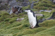 Pygoscelis antarcticus040.King George Is.South Shetland Islands.Antarctica.20.01.2019