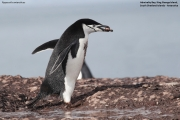 Pygoscelis antarcticus042.King George Is.South Shetland Islands.Antarctica.24.01.2019