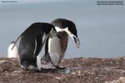Pygoscelis antarcticus043.King George Is.South Shetland Islands.Antarctica.24.01.2019