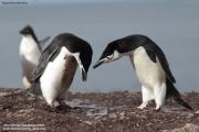 Pygoscelis antarcticus044.King George Is.South Shetland Islands.Antarctica.24.01.2019