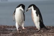 Pygoscelis antarcticus046.King George Is.South Shetland Islands.Antarctica.24.01.2019
