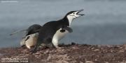Pygoscelis antarcticus047.King George Is.South Shetland Islands.Antarctica.24.01.2019