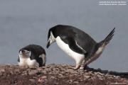 Pygoscelis antarcticus050.King George Is.South Shetland Islands.Antarctica.24.01.2019