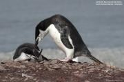 Pygoscelis antarcticus052.King George Is.South Shetland Islands.Antarctica.24.01.2019