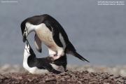 Pygoscelis antarcticus055.King George Is.South Shetland Islands.Antarctica.24.01.2019