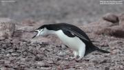 Pygoscelis antarcticus057.King George Is.South Shetland Islands.Antarctica.28.01.2019