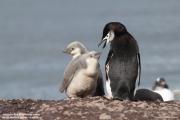 Pygoscelis antarcticus065.King George Is.South Shetland Islands.Antarctica.24.01.2019