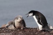 Pygoscelis antarcticus067.King George Is.South Shetland Islands.Antarctica.24.01.2019