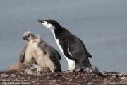 Pygoscelis antarcticus068.King George Is.South Shetland Islands.Antarctica.24.01.2019