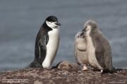 Pygoscelis antarcticus069.King George Is.South Shetland Islands.Antarctica.24.01.2019