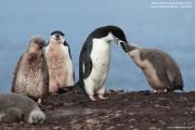 Pygoscelis antarcticus072.King George Is.South Shetland Islands.Antarctica.24.01.2019