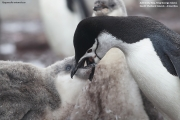 Pygoscelis antarcticus074.King George Is.South Shetland Islands.Antarctica.30.01.2019