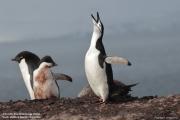 Pygoscelis antarcticus076.King George Is.South Shetland Islands.Antarctica.24.01.2019