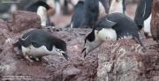Pygoscelis antarcticus078.King George Is.South Shetland Islands.Antarctica.22.01.2019