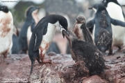 Pygoscelis antarcticus081.King George Is.South Shetland Islands.Antarctica.22.01.2019