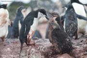 Pygoscelis antarcticus082.King George Is.South Shetland Islands.Antarctica.22.01.2019