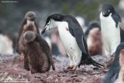 Pygoscelis antarcticus083.King George Is.South Shetland Islands.Antarctica.22.01.2019