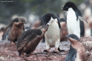Pygoscelis antarcticus084.King George Is.South Shetland Islands.Antarctica.22.01.2019