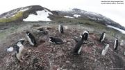 Pygoscelis antarcticus089.King George Is.South Shetland Islands.Antarctica.31.01.2019