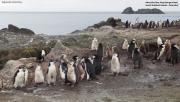 Pygoscelis antarcticus093.King George Is.South Shetland Islands.Antarctica.31.01.2019