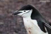 Pygoscelis_antarcticus002.King_George_Is.South_Shetland_Islands.Antarctica.17.01.2019