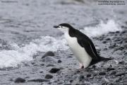 Pygoscelis_antarcticus007.King_George_Is.South_Shetland_Islands.Antarctica.20.01.2019