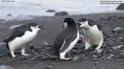 Pygoscelis_antarcticus013.King_George_Is.South_Shetland_Islands.Antarctica.28.01.2019
