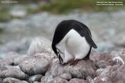 Pygoscelis_antarcticus018.King_George_Is.South_Shetland_Islands.Antarctica.17.01.2019