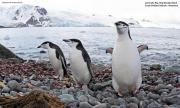 Pygoscelis_antarcticus020.King_George_Is.South_Shetland_Islands.Antarctica.29.01.2019