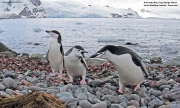 Pygoscelis_antarcticus021.King_George_Is.South_Shetland_Islands.Antarctica.29.01.2019