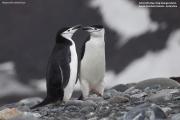 Pygoscelis_antarcticus023.King_George_Is.South_Shetland_Islands.Antarctica.27.01.2019