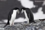 Pygoscelis_antarcticus024.King_George_Is.South_Shetland_Islands.Antarctica.27.01.2019