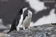 Pygoscelis_antarcticus025.King_George_Is.South_Shetland_Islands.Antarctica.27.01.2019