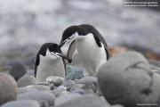 Pygoscelis_antarcticus027.King_George_Is.South_Shetland_Islands.Antarctica.27.01.2019